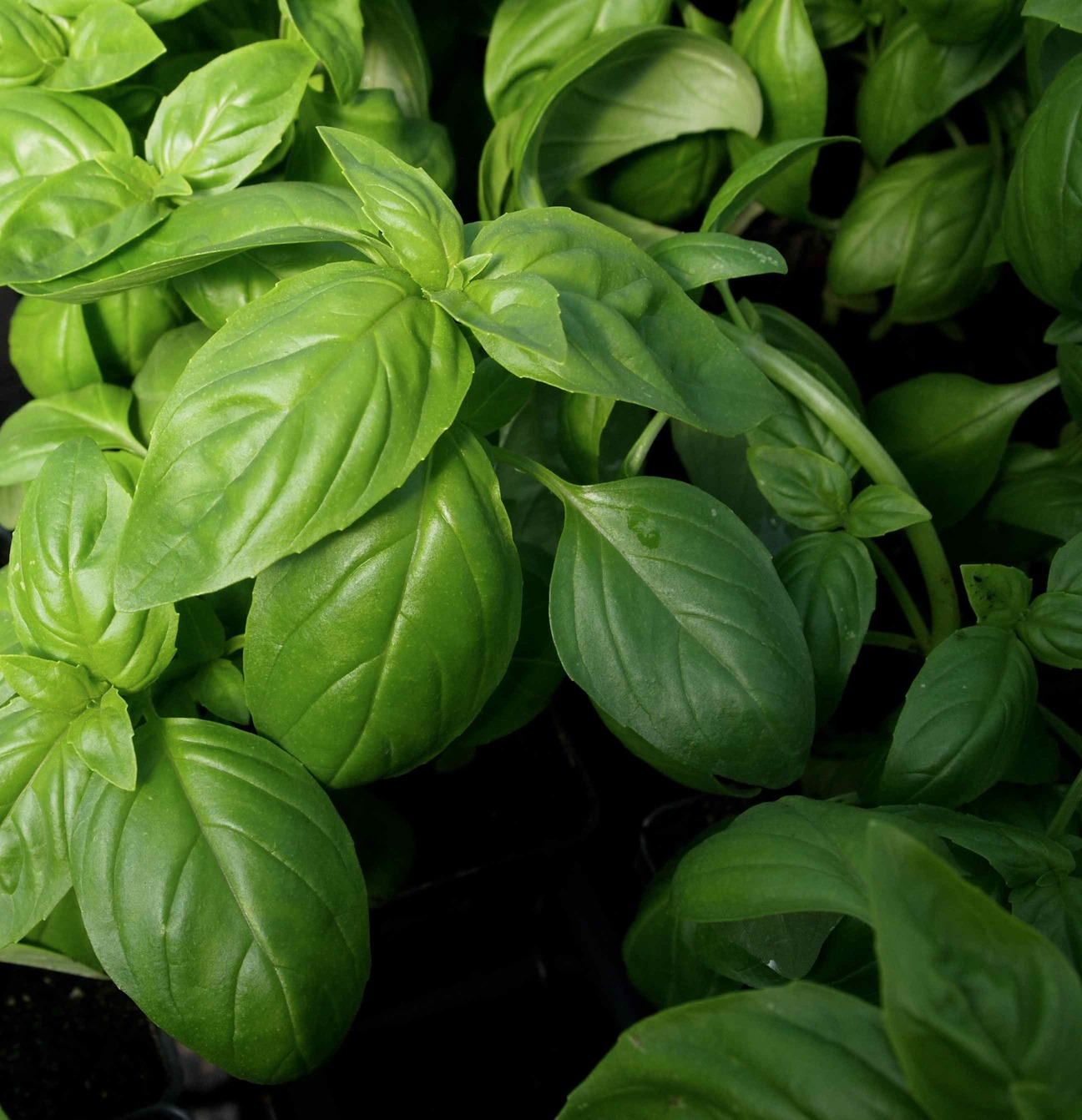 Basil was one of the glorious herbs available at plant sale